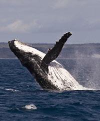 Hawaii Whale Watching